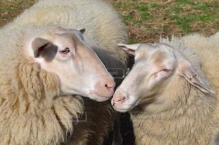 動物,羊,癒し,動物園