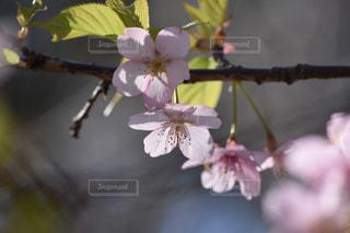 花,春,桜,さくら