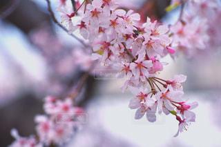 花,春,ピンク,鮮やか,カラー,桜の花,さくら,映え