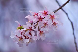 花,春,ピンク,鮮やか,草木,桜の花,さくら