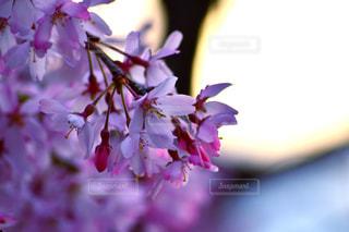 花,春,桜,ピンク,鮮やか,さくら