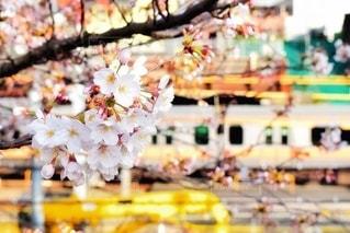 花,春,桜,木,電車,花見,JR,お花見,イベント,中央線