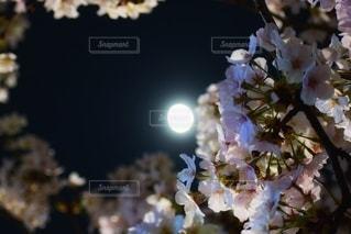 花,春,桜,夜,木,花見,夜桜,お花見,月,イベント,月光