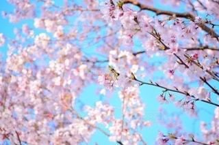 空,花,春,桜,木,青空,花見,鮮やか,お花見,イベント
