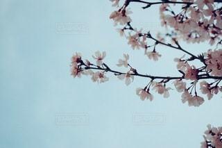 空,花,春,桜,木,青空,花見,満開,お花見,イベント,さくら