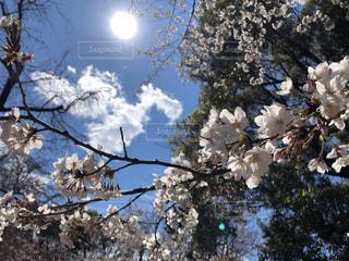 空,花,春,桜,木,屋外,太陽,日光,花見,樹木,お花見,イベント,草木,さくら,ブロッサム