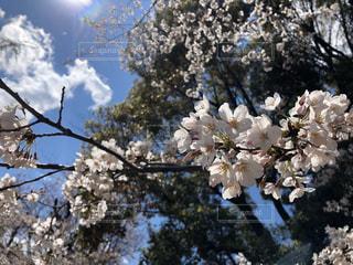 空,花,春,桜,木,屋外,太陽,青空,青い空,日光,花見,光,樹木,お花見,イベント,草木,桜の花,さくら,ブルーム,ブロッサム