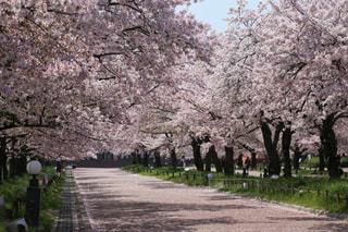 花,春,樹木,桜の花,さくら