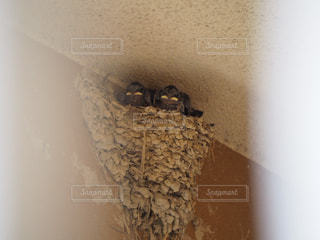子ども,動物,鳥,壁,赤ちゃん,ツバメ,ヒナ,ツバメの巣,燕,雛鳥