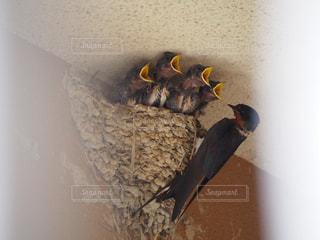 子ども,家族,動物,鳥,親子,壁,エサ,ツバメ,お母さん,子育て,ツバメの巣,燕,親鳥,雛鳥