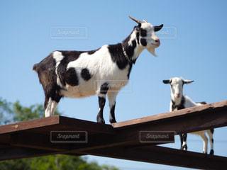子ども,家族,恋人,友だち,空,動物,牧場,立つ,ヤギ,動物園,休日,テーマパーク,マザー牧場,触れ合い,草食