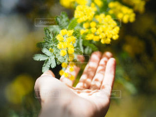 花,春,太陽,かわいい,温かい,黄色,手,影,木漏れ日,ふわふわ,人,ミモザ,ナチュラル,草木,掌,温もり,おしゃれ,ゆるふわ