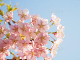 空,花,春,桜,花束,かわいい,青空,鮮やか,ふわふわ,パステル,草木,桜の花,さくら,ブロッサム