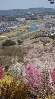 風景,桜,青空,川,広場,山頂