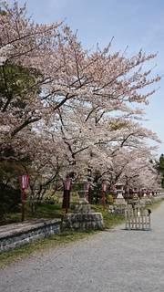 春,屋外,神社,お花見,祭り