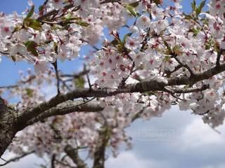 青空,お花見,春休み,さくら,町の小さな観光地