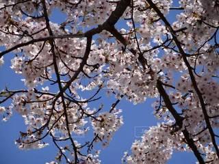 空,春,桜,青空,春日和
