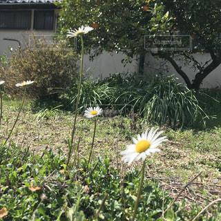 花,春,屋外,デイジー,草木,ガーデン