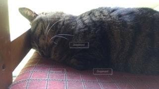 猫,屋内,ひなたぼっこ,ごめん寝