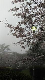 公園,花,桜,雨,霧,街灯