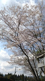 空,鳥居,桜の花,日中