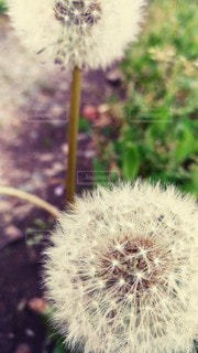 花,屋外,種,草木,タンポポ
