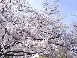 公園,花,春,桜,屋外,晴れ,晴天,樹木,草木,3月,桜の花,さくら,ブロッサム