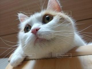 猫,動物,部屋,ペット,顔,アップ,メス,スコティッシュフォールド,愛猫,自宅,猫のヒゲ,成猫
