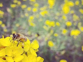 花,春,黄色,菜の花,蜂,昆虫,ミツバチ,草木,菜の花とミツバチ,花粉団子,ミツバチの花粉団子