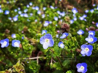 花,春,オオイヌノフグリ,草木,小さい春,可愛らしい,青くて小さい花