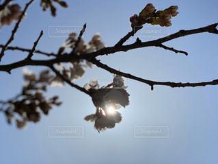 空,花,春,桜,屋外,太陽,枝,日の光,樹木