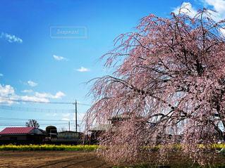 桜,ピンク,青空,黄色,菜の花,枝垂れ桜,桜と菜の花