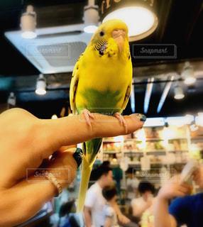 動物,鳥,屋内,インコ,オウム,幸運,黄色の鳥
