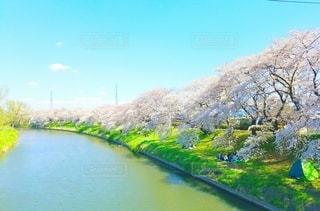 自然,空,花,春,桜,木,屋外,川,水面,花見,桜並木,景色,満開,樹木,旅行,イベント,草木