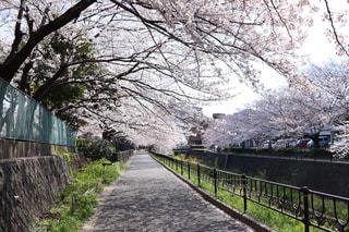 花,春,樹木,歩道,さくら