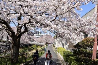 女性,男性,2人,花,春,樹木,人,桜の花,さくら