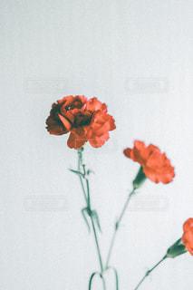 母の日にカーネーションをの写真・画像素材[3192699]