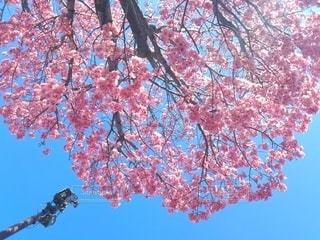 空,花,春,樹木,草木,さくら,ブロッサム
