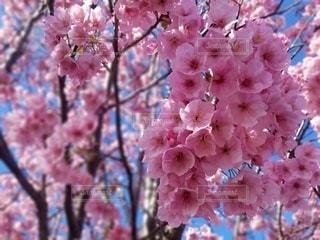 花,春,ピンク,景色,鮮やか,樹木,カラー,草木,桜の花,さくら,ブルーム,ブロッサム