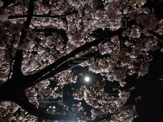 花,夜景,屋外,樹木,満月,草木,桜の花,さくら,ブロッサム