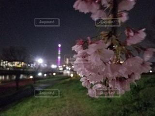 花,桜,草,樹木,草木,さくら