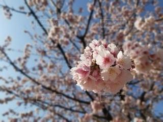 空,花,春,樹木,草木,桜の花,さくら,ブルーム,ブロッサム