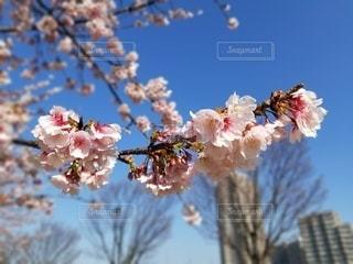 空,花,春,屋外,青い空,鮮やか,樹木,草木,桜の花,さくら,ブルーム,ブロッサム