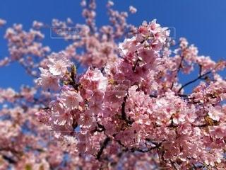 花,春,景色,鮮やか,樹木,草木,桜の花,さくら,ブロッサム