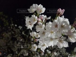 花,夜桜,ハート,ソメイヨシノ,ブルーム,ブロッサム,隅田公園