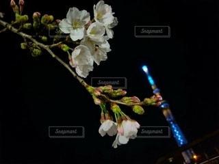 花,桜,夜景,スカイツリー,夜桜,隅田公園