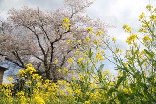 菜の花と桜の写真・画像素材[4305988]
