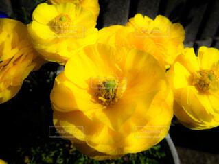 ラナンキュラスが咲いたの写真・画像素材[4314673]