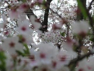 満開の桜の写真・画像素材[4319164]