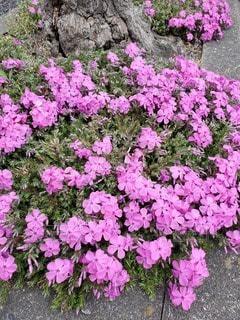 花,屋外,ピンク,芝桜,草木,フローラ